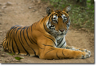 Tiger in Ranthambore Concept Voyages