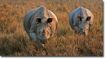 One horned Rhinos in Kaziranga National Park Concept Voyages